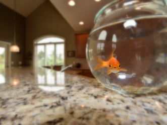 Steve the Goldfish